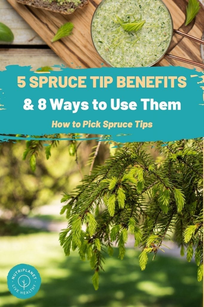 5 spruce tips benefits, 8 ways to use spruce tips, how to pick spruce tips.