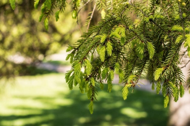 Spruce tips growing on a tree