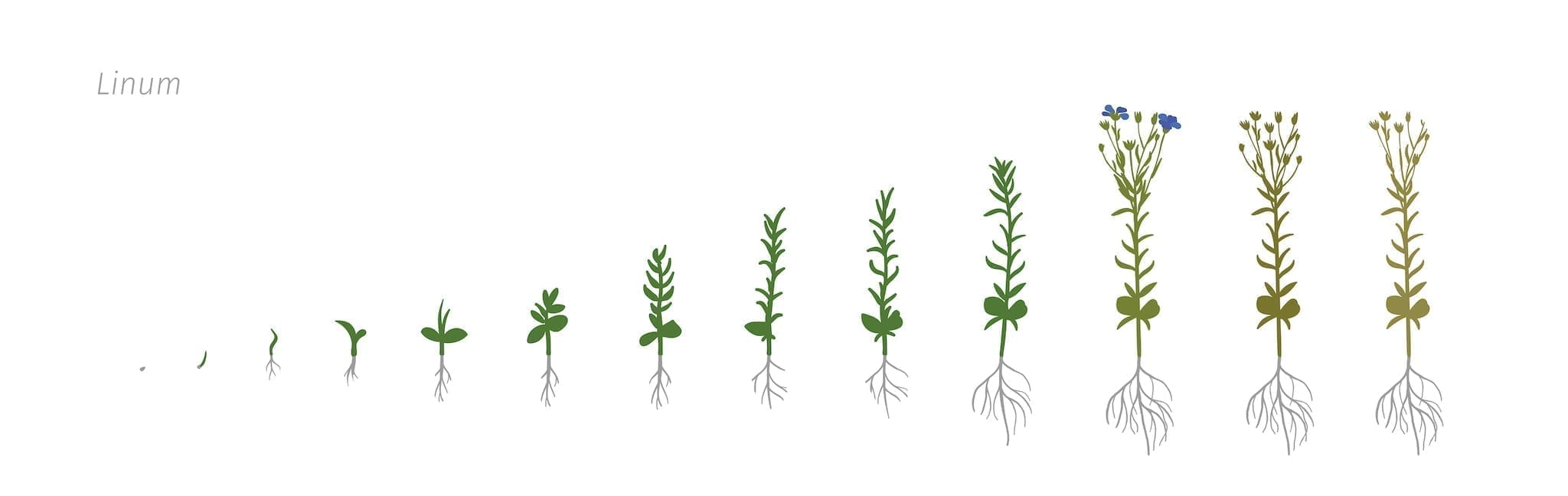 Stages of flax plant growing. Flax plant from seed to harvest.